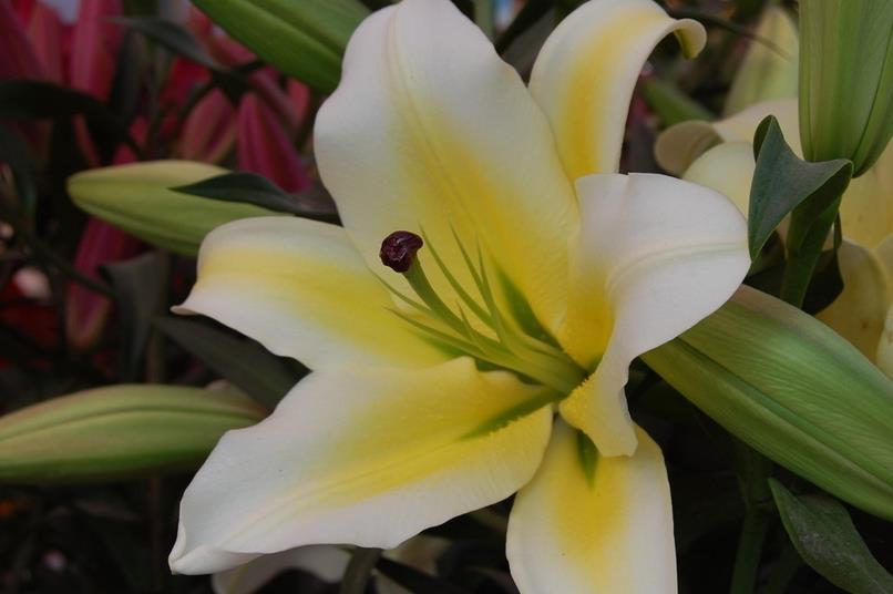 百合花的风格搭配 百合花的养殖技术图片