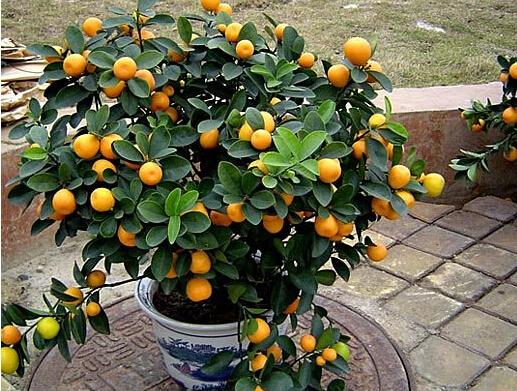 客厅摆放什么植物聚财   一提到果实类植物,不仅让人联想到过年摆放的