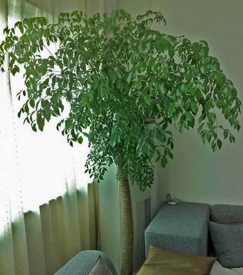 幸福树怎么修剪 幸福树的养殖方法和注意事项