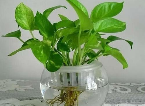 土培绿萝怎么改水培 水培绿萝养殖方法