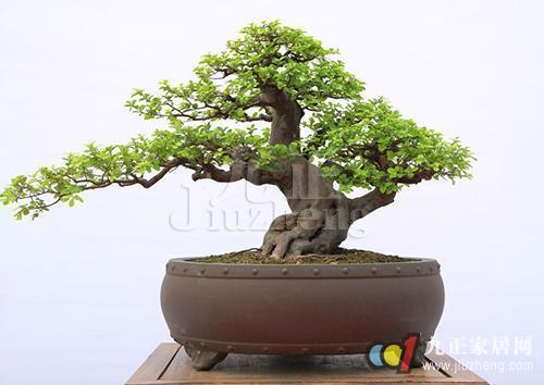 雀梅盆景如何制作 雀梅盆景养护方法