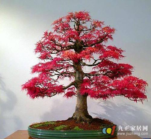 红枫养殖方法 红枫常见病虫害防治