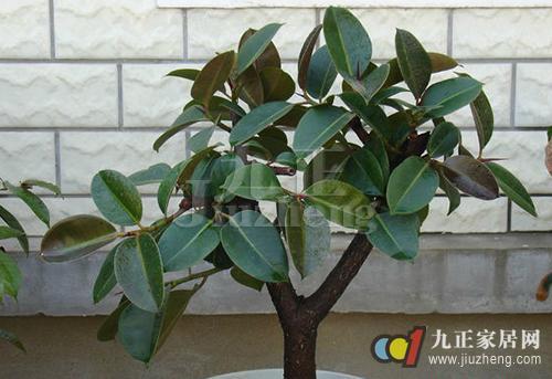 学知识 植物 如何修剪橡皮树 橡皮树繁殖方法   即将整个主枝上部的1