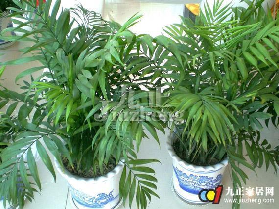 袖珍椰子可以水培吗 袖珍椰子水培方法