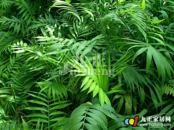 袖珍椰子怎么养 袖珍椰子的养殖方法和注意事项