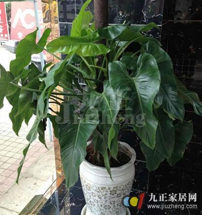 绿宝树的养殖方法 绿宝树和幸福树的区别
