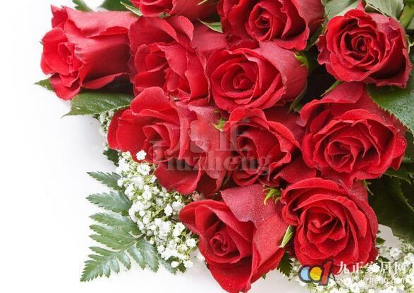 玫瑰花是女生非常喜欢收到的花,它不仅象征着火热的爱情,它也可以很务实,晒干的玫瑰花可以泡茶喝,还可以制作点心。那么,玫瑰花在生活中要怎么进行种植呢?有什么养殖方法呢?下面,九正家居网为大家讲述下玫瑰花的养殖方法,希望可以帮助到大家。 玫瑰花的栽培方式 玫瑰,原产地中国。属蔷薇目,蔷薇科落叶灌木,枝杆多针刺,奇数羽状复叶,小叶5~9片,椭圆形,有边刺。花瓣倒卵形,重瓣至半重瓣,花有紫红色、白色,果期8-9月,扁球形。玫瑰原产是中国。玫瑰作为农作物时,其花朵主要用于食品及提炼香精玫瑰油,玫瑰油应用于化妆品、