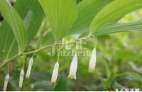玉竹怎么样 玉竹的功效和作用