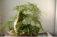 文竹如何养殖 几种不同材质的花盆介绍