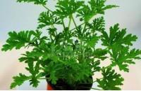 驱蚊草在家居中的作用  驱蚊草养殖技巧