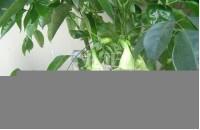 绿宝树如何养殖 绿宝树的作用