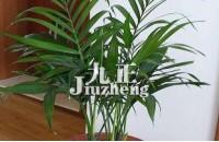 凤尾竹为什么发黄 凤尾竹的养殖方法