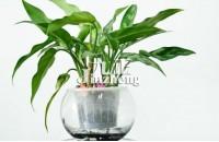 黑美人植物的作用 黑美人植物的养殖方法