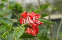 扶桑花的养殖方法 扶桑花的功效与作用