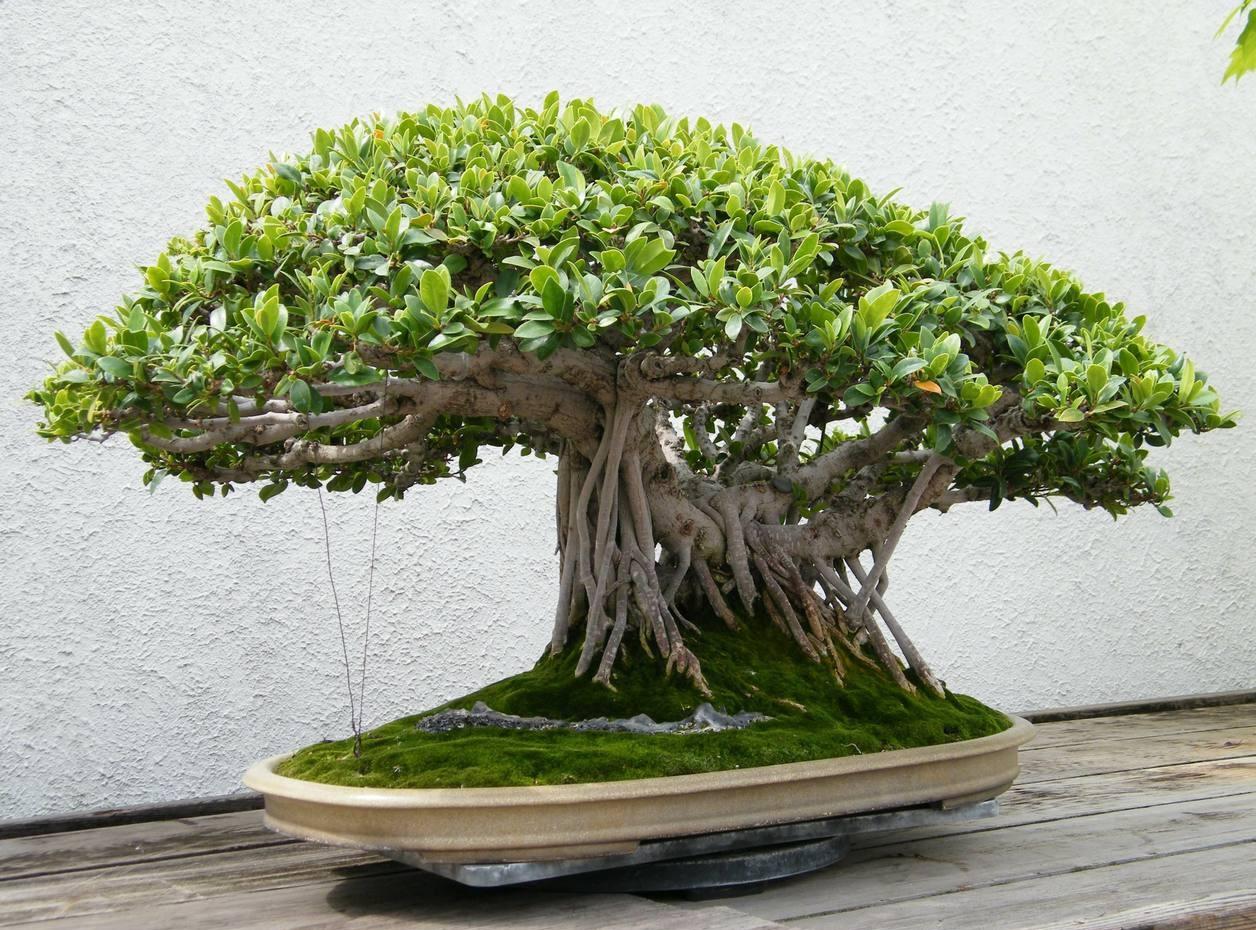 阳台装饰榕树盆景图片欣赏
